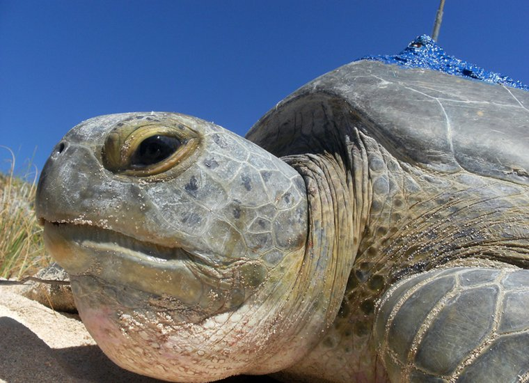 Shyvonne - a nesting green turtle fitted with a satellite tag about to enter the water - Grand Turk, TCI