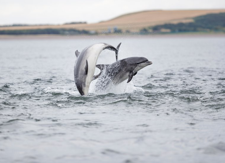 Bottlenose Dolphin playing Chanonry