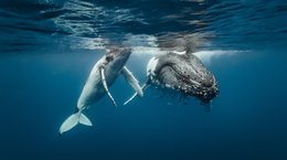 Humpback Whale mother and calf in waters near Tonga Michael Smith ITWP