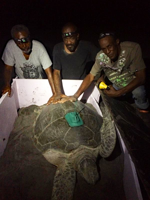 John, Alwyn Gerard, our Government of Montserrat partners with a tagged turtle.