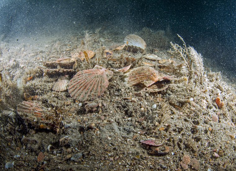Empty and broken scallop shells possibly due to the raking action of dredges Lyme Bay Scotland Colin Munro.
