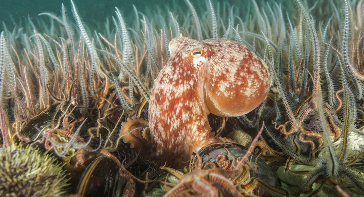 Octopus on seabed, Scotland - SCOTLAND: The Big Picture