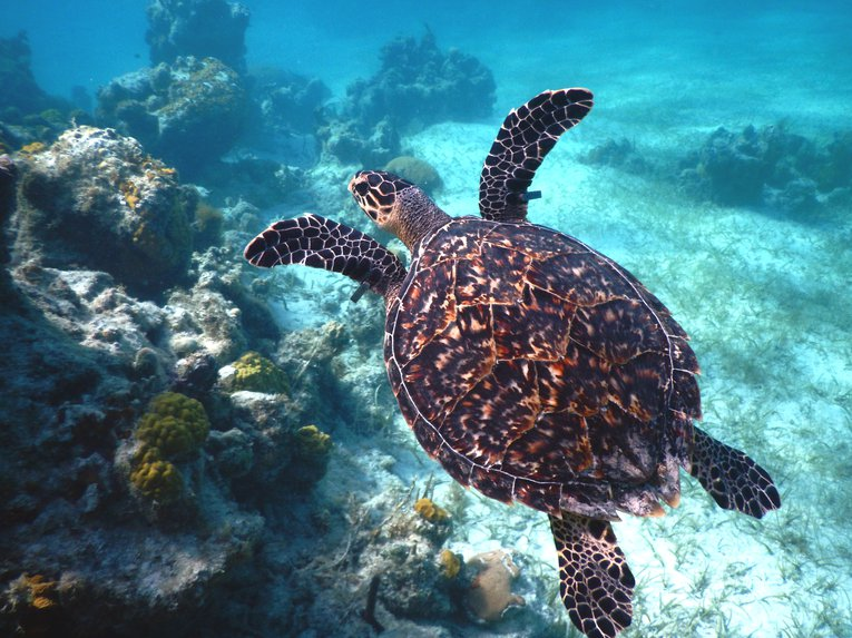 A hawksbill turtle swimming over a reef in the Caribbean UKOTs