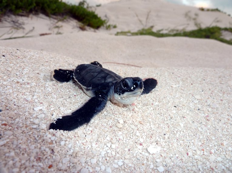 Green turtle hatchling on Grace Bay Beach, Turks and Caicos Islands