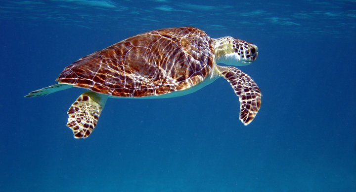 Green turtles over seagrass in Turks and Caicos Islands