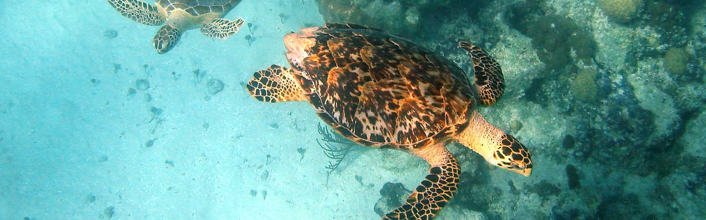 Hawksbill and Green turtle in the Caribbean UKOTs