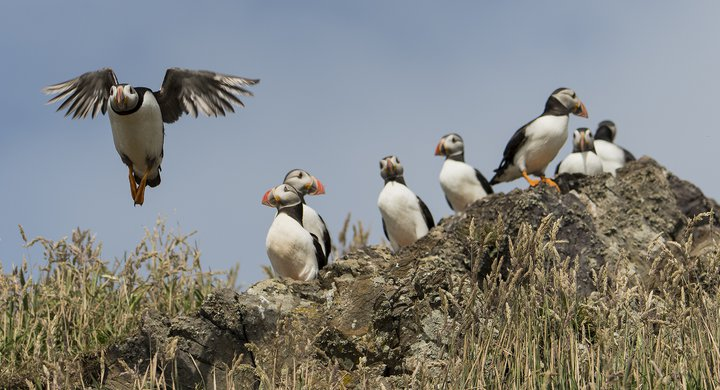 Puffin coming into land Skomer Wales John Archer-Thompson