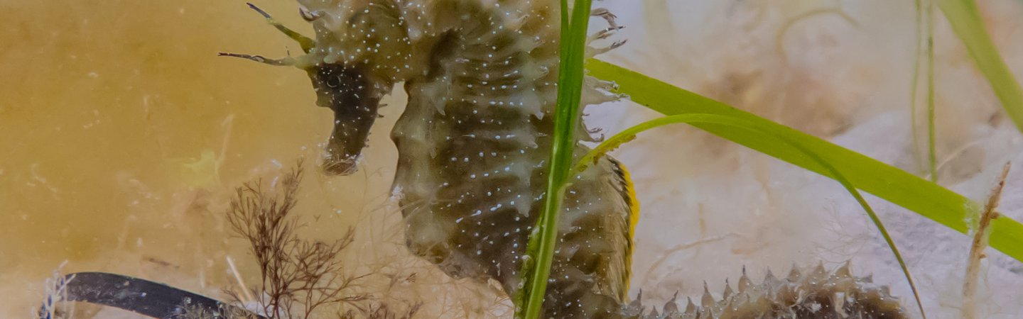 Spiny Seahorse in Seagrass Georgie Bull