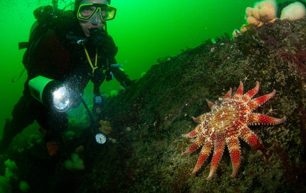 Diver and Sunstar St Abbs Scotland Mark Kirkland