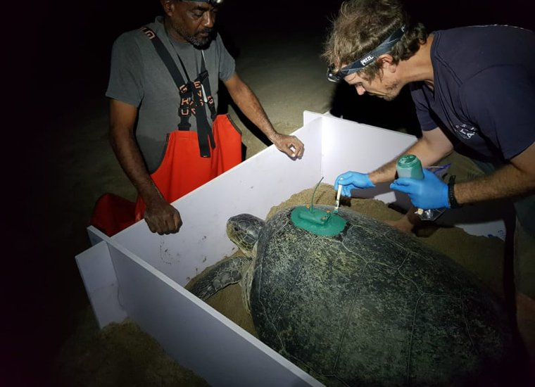 Dr Sam Weber and Alwyn Ponteen attach a satellite tag to a nesting green turtle.